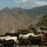 Goat herd in Taborno